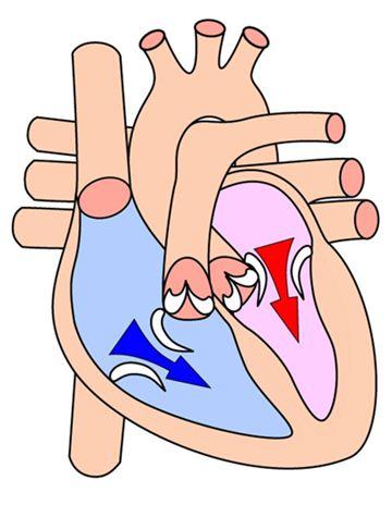 Coração em desenho mostrando seu funcionamento durante diástole.