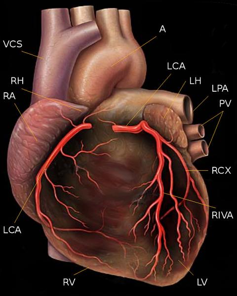 Você sabe a idade do seu coração? (Patrick J. Lynch (1999)/wikimedia)